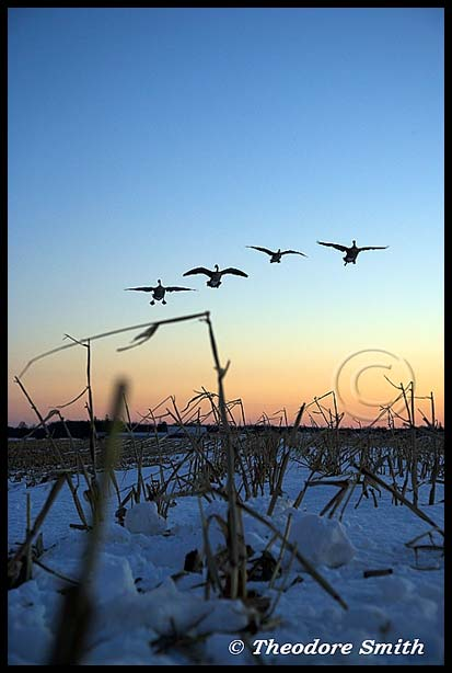 Waterfowl Wallpapers
